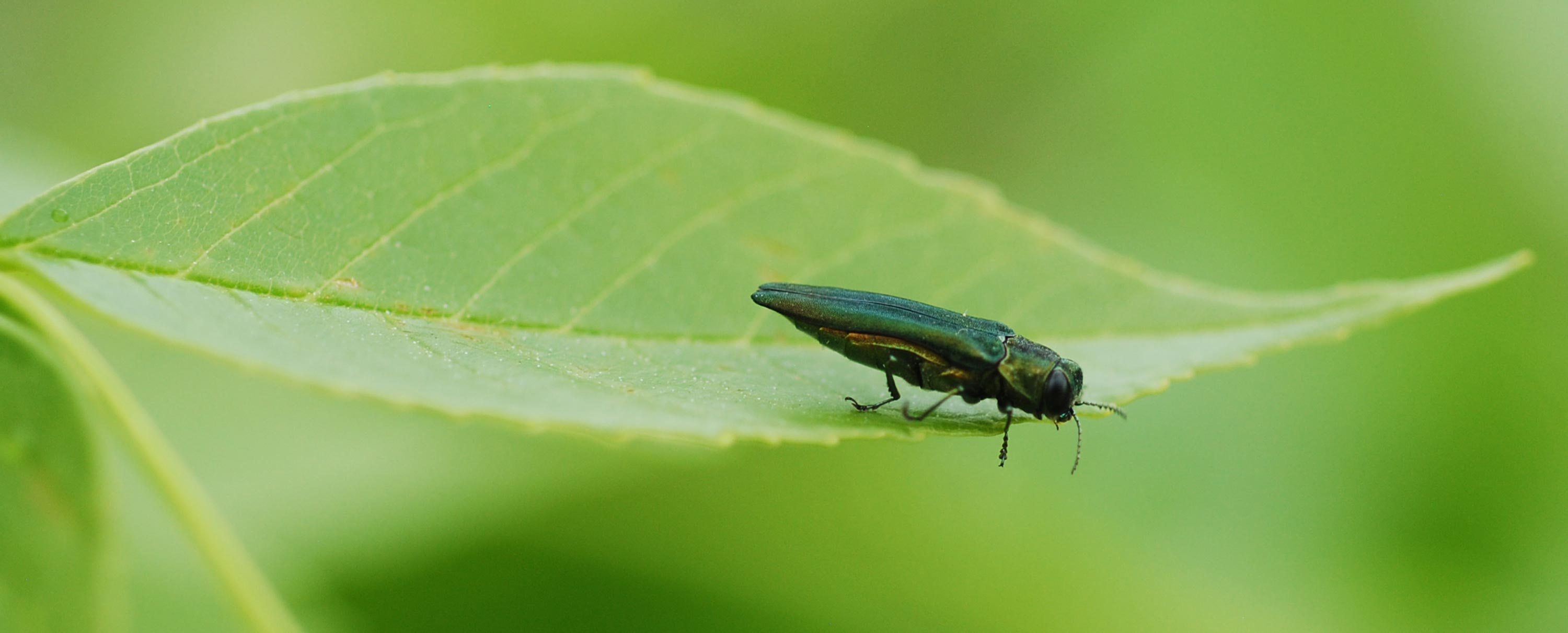 Adult Emerald Ash Borer Hero Be A Smart Ash