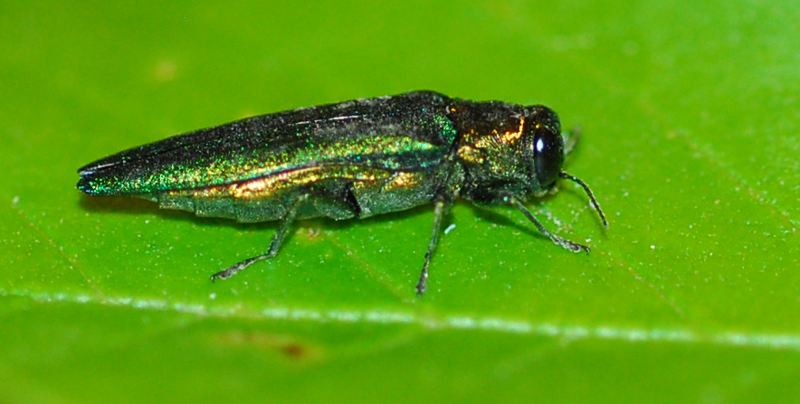 Emerald-ash-borer-adult-on-leaf