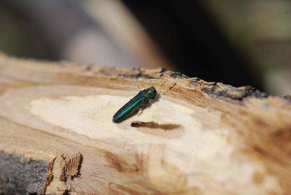 An Emerald Ash Borer Emerges From An Infested Ash Tree.
