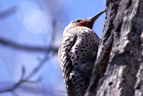 Northern-flicker-spanish