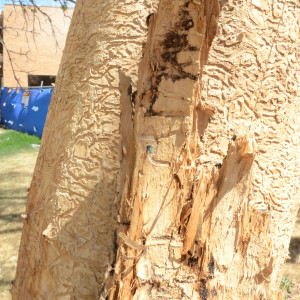 A Look At An Emerald Ash Borer (EAB) Lodged In A Tree That Has Been Ravaged By The Invasive Pest On The University Of Colorado At Boulder's Campus, Which Is In The EAB Quarantine Zone.