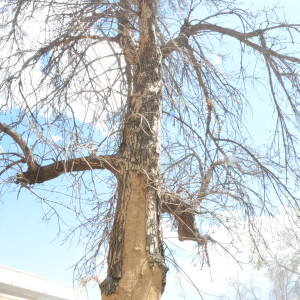 An Ash Tree Devastated By Emerald Ash Borer On The University Of Colorado's Boulder Campus.