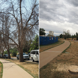 A Row Of Ash Trees In Williams Village On The University Of Colorado's Boulder Campus Was Removed In The Summer Of 2016 After The Trees Were Ravaged By Emerald Ash Borer.