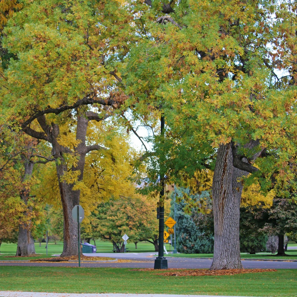 City Park Fall Color Ash Tree | Be A Smart Ash