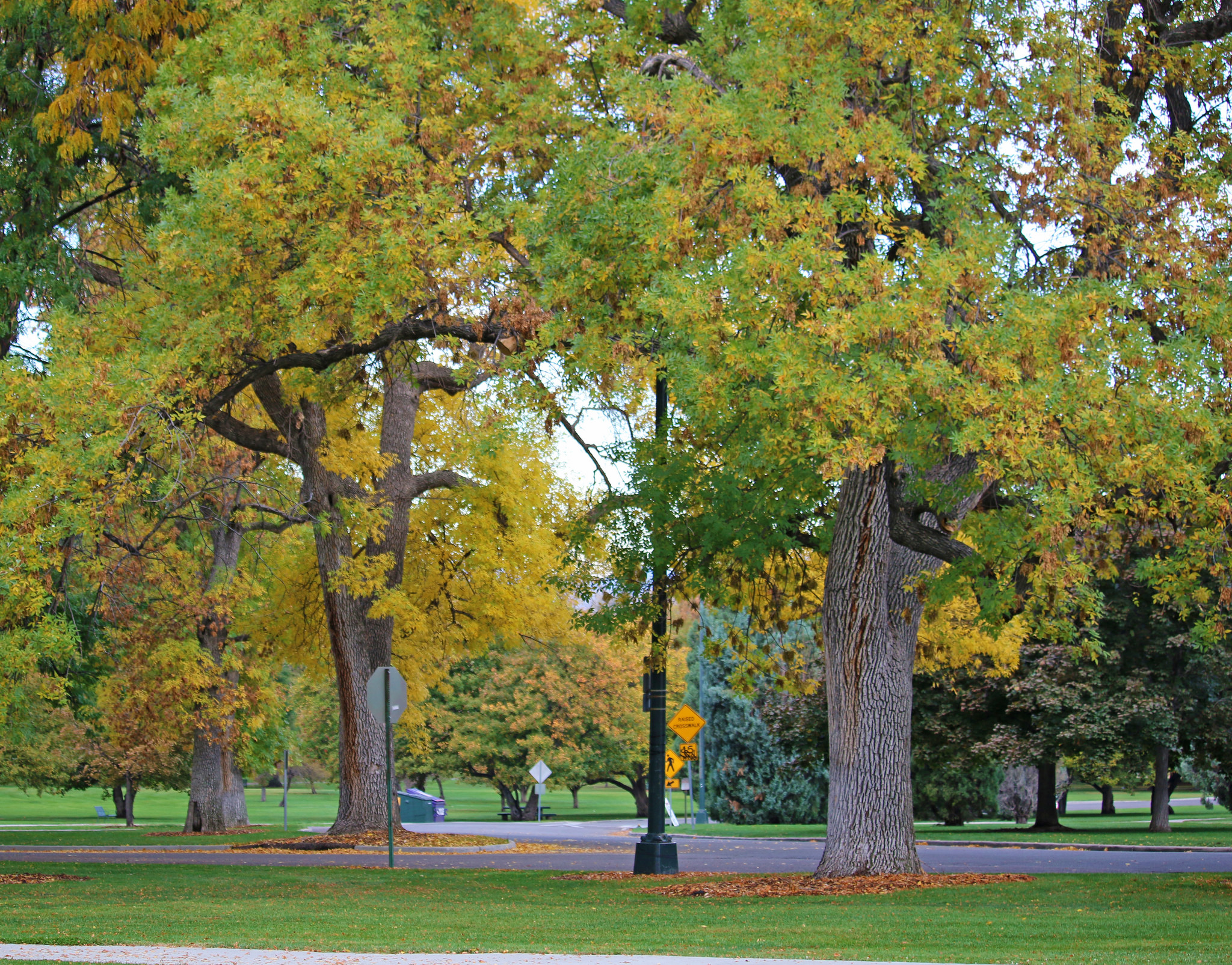 City Park Fall Color Ash Tree | Be A Smart Ash, Denver, EAB | Be a ...