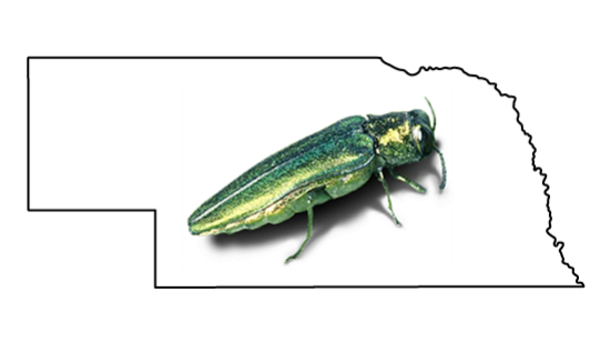 Emerald Ash Borer Discovered In Lincoln, Neb.