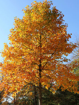 Removing And Replacing Your Ash Tree Be A Smart Ash